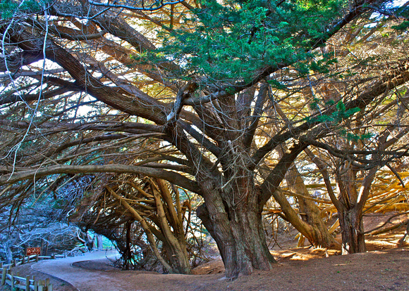 Canopied Path in Big Sur